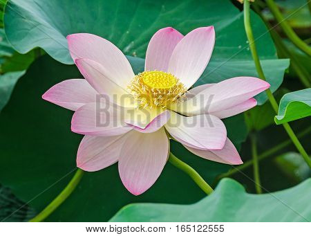 Pink, White, Yellow Nuphar Flowers, Green Field On Lake, Water-lily, Pond-lily, Spatterdock, Nelumbo