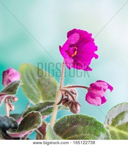 Violet Saintpaulias Flowers, Commonly Known As African Violets, Parma Violets, Close Up