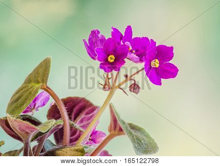 Violet Saintpaulias Flowers, Commonly Known As African Violets, Parma Violets, Close Up, Isolated, C