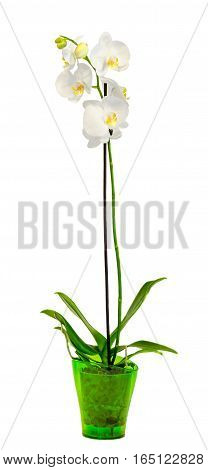 White Branch Orchid  Flowers In A Green Vase, Orchidaceae, Phalaenopsis Known As The Moth Orchid, Ab