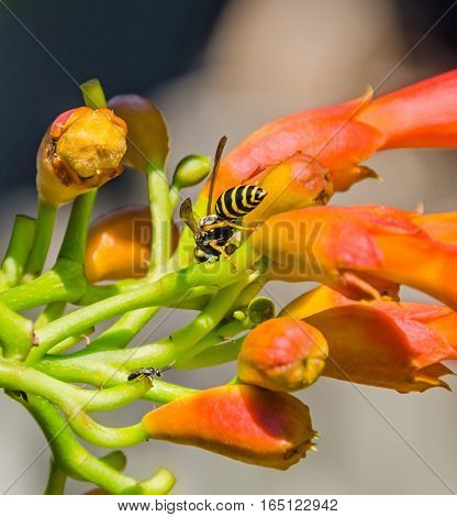 Red, Orange Campsis Radicans Flowers With Bee, Trumpet Vine Or Trumpet Creeper, Also Known As Cow It