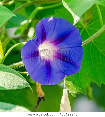 Ipomoea Purpurea Mauve Flower, The Purple, Tall, Or Common Morning Glory, Close Up.