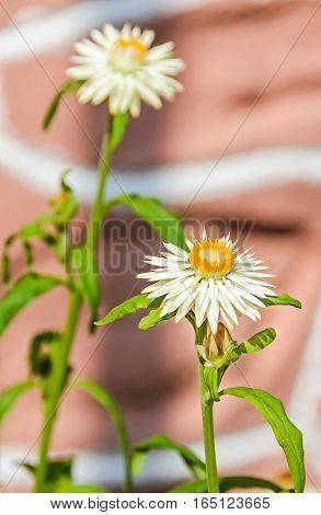 White Xerochrysum Bracteatum Flowers, Commonly Known As The Golden Everlasting Or Strawflower, Famil