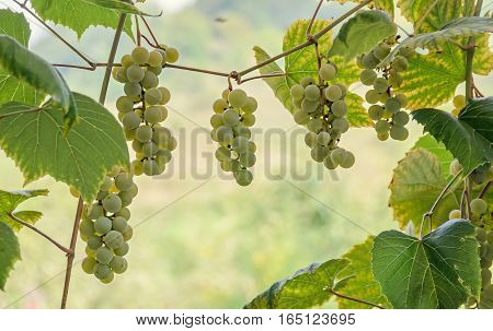 White Grapes Fruit Hang, Vitis Vinifera (grape Vine) Green Leaves In The Sun, Close Up.