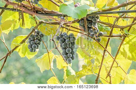 Dark Red, Purple Grapes Fruit Hang, Vitis Vinifera (grape Vine) Green Leaves In The Sun, Close Up.