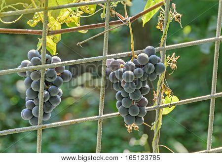 Dark red purple grapes fruit hang Vitis vinifera (grape vine) green leaves in the sun close up