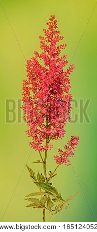 Red Astilbe Flowers, Green Bokeh Background, Close Up, Isolated. Family Saxifragaceae, Known As Fals