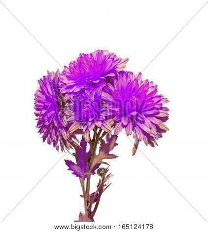 Mauve Chrysanthemum Flowers, Mums Or Chrysanths, Genus Chrysanthemum In The Family Asteraceae, In Ro