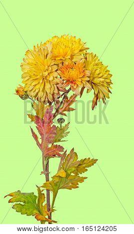Yellow, Orange Chrysanthemum Flowers, Mums Or Chrysanths, Genus Chrysanthemum In The Family Asterace