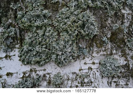 white birch bark covered with green moss and lichen in late autumn