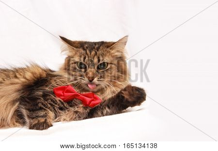 Cat in red  with a bow on the white background with space for writing