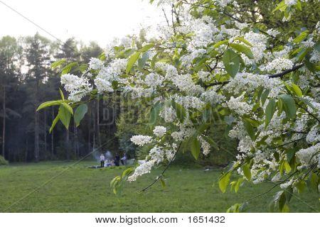Bird Cherry Tree