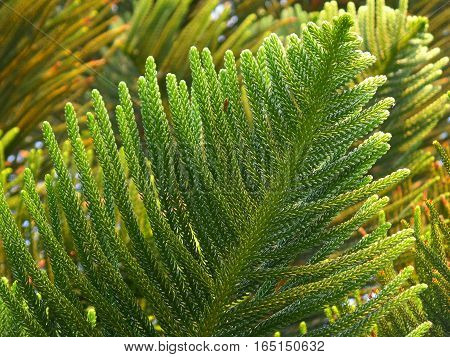 Vibrant Green Leaves of Columnar Araucaria or Cook Pine in the Afternoon Sunlight