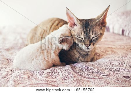 Mum cat and kitten. Love and tenderness. Big gray cat and a small cat sleeping together, hugging each other.  Cute cats, family. Devon rex curly cats breed