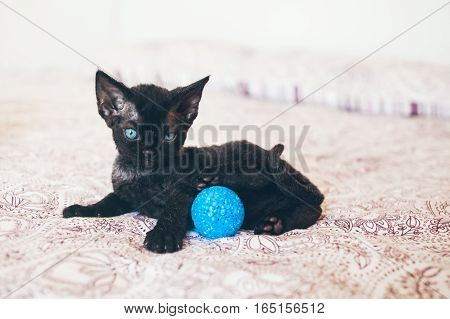 Cute and funny kitten is playing with a blue ball. Soft background. Kitten in a playful mood. Devon Rex
