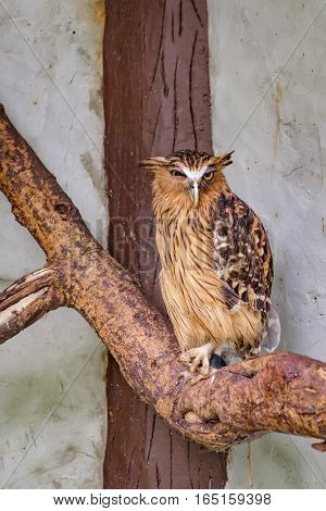 Buffy fish owl Bubo ketupu Malay fish owl sitting on a tree in Kuala Lumpur Bird park, Malaysia. Its natural habitat is wet tropical forests near water banks of rivers lakes and fish ponds.