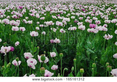 Licenced Poppy Farm in rural Tasmania Australia