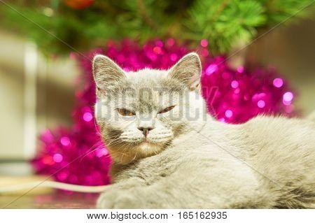 Beautiful scotish gray cat near Christmas tree with decoration