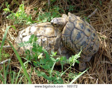 Couple Of Tortoises