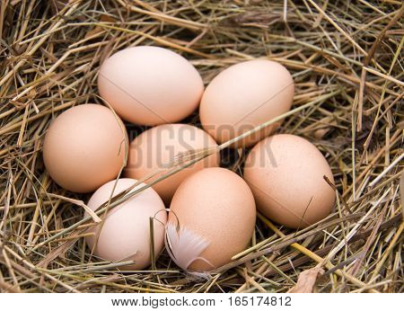 seven chicken eggs lying in the hay.