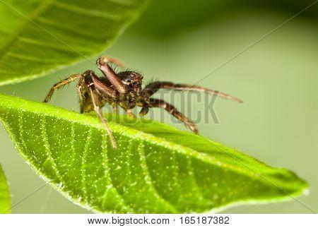 Spider - Leaf Master