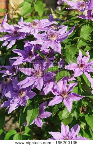 Bright flowering clematis varieties Polish General Sikorski (lat. Clematis General Sikorski)