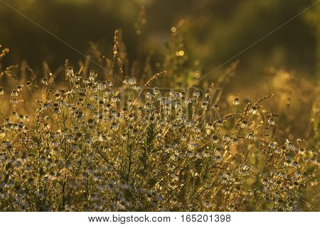 Camomiles in evening light hide the petals on a sunset