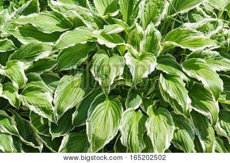 The Bush is lush green with a white margin Hosta wavy (lat. Hosta undulata)