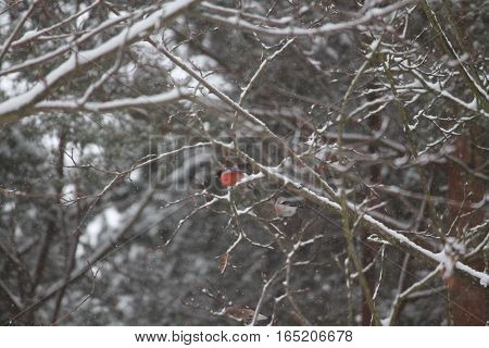 pair of wild bullfinch with red chest mean male bird fly away from tree in winter snowy day