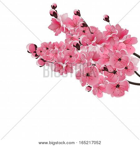 Japanese sakura. Three lush branch dark pink cherry blossom close-up. Isolated on white background. Vector illustration