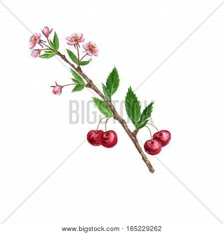 cherry tree branch with berries, leaves, buds and flowers drawing by watercolor, isolated hand drawn element