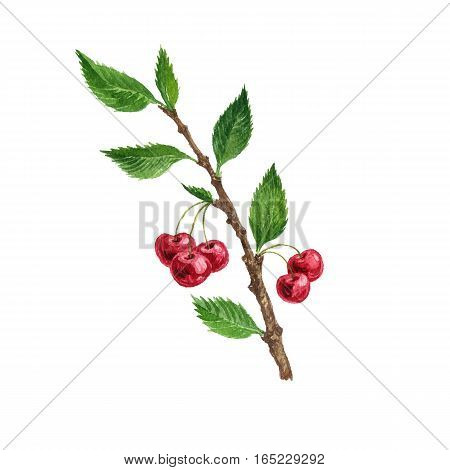 cherry tree branch with berries and leaves, drawing by watercolor, isolated hand drawn element