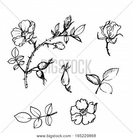 vector wild rose branches with flowers, berries and leaves, isolated hand drawn element