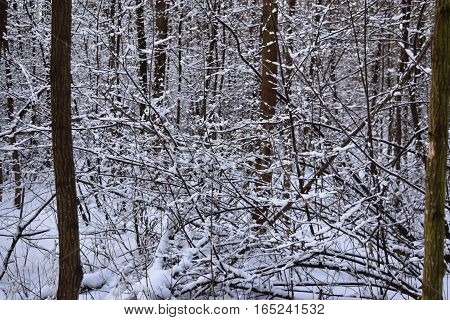 Outdoor woods nature landscape at cold day. Cold day in snowy winter forest. Beautiful winter panorama.Snow covered pine trees in winter fores