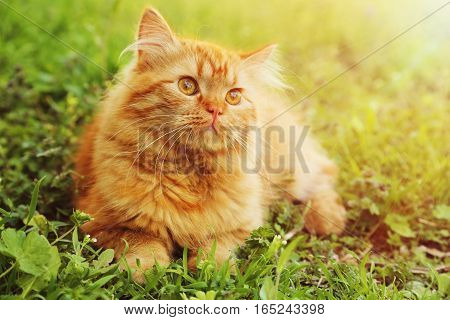 Redhead long hair cat on the grass