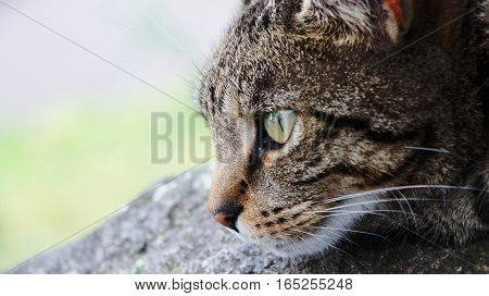 Tabby cat closeup on a rock with a blurred background.