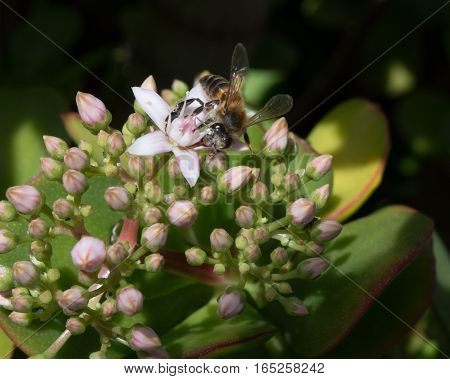 A Honeybee collecting pollen from a Jade Plant in a hotel garden in Madeira
