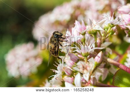 Honeybee on a Jade Plant in Maderia in a hotel garden in Madeira