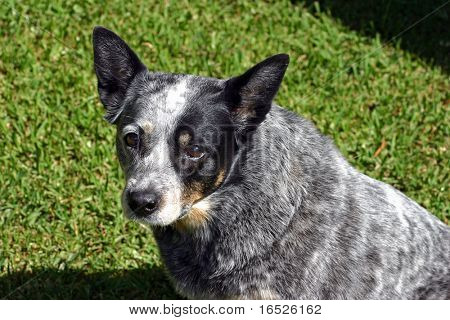 Pedigree Australian Blue Cattle Dog
