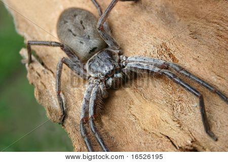Australian Huntsman Spider
