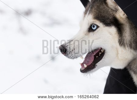 Siberian Husky closeup. The dog growls and aggressive because of fear.