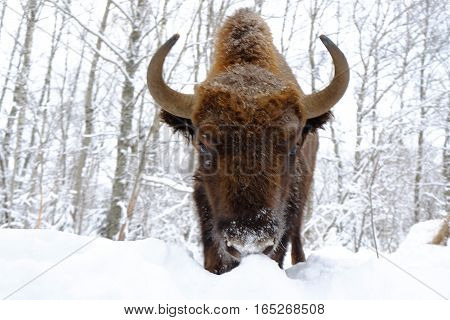 Front close view of European bison (Wisent Bison bonasus) in winter forest. National park Ugra Kaluga region Russia. January 2017