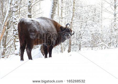 European bison (Wisent Bison bonasus) in winter forest. National park Ugra Kaluga region Russia. January 2017