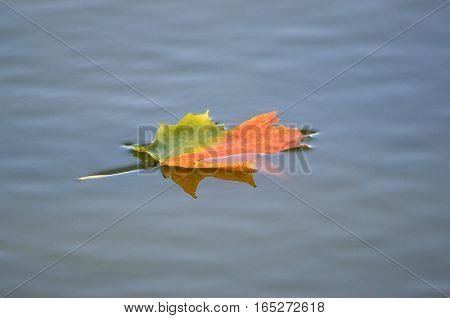 Maple leaf floating on a fall day