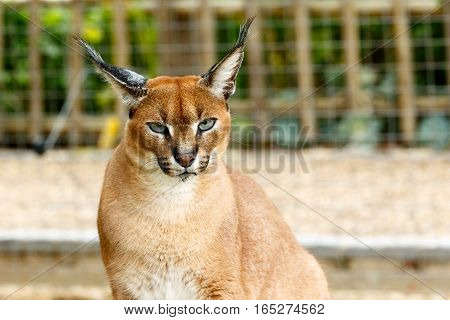 Male Rooikat Wild Cat Looking At You