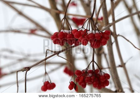 Red berry in the cold / Frosty morning. Trees covered with  Red berry.