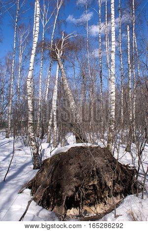 Fallen with roots birch tree in winter forest