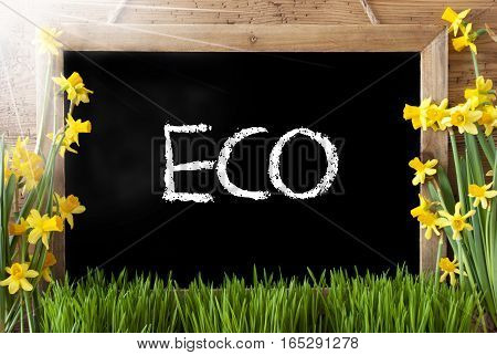 Blackboard With English Text Eco. Sunny Spring Flowers Nacissus Or Daffodil With Grass. Rustic Aged Wooden Background.