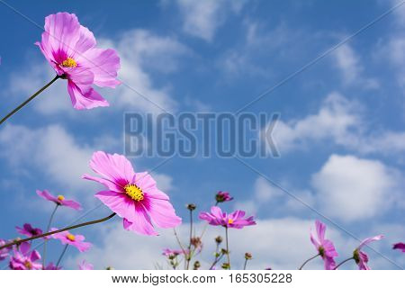 Pink gradation cosmos flower under sky with clouds
