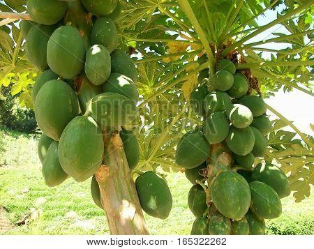 Mango in a mango tree in asia